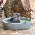 イソヒヨドリ♀の水浴び(1)FK3A2107