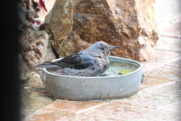 イソヒヨドリ♀の水浴び(2)FK3A2110