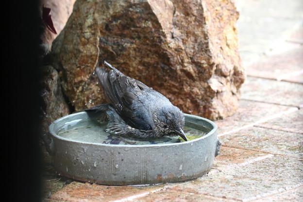 イソヒヨドリ♀の水浴び(4)FK3A2117
