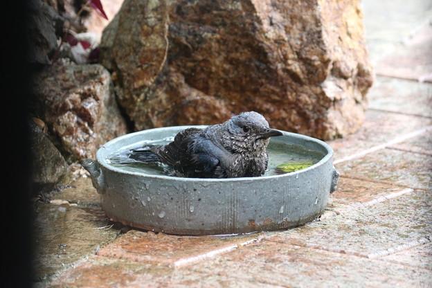 イソヒヨドリ♀の水浴び(5)FK3A2121