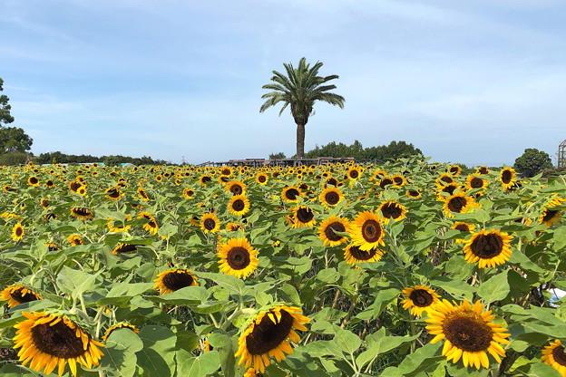 公園のヒマワリ畑 IMG_1164 by ふうさん