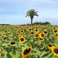 Photos: 公園のヒマワリ畑 IMG_1164 by ふうさん