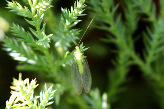 お庭のクサカゲロウ FK3A6655