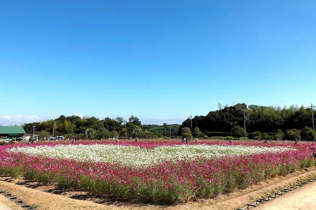 コスモス畑(4)IMG_1245