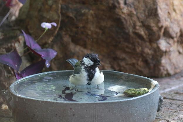 シジュウカラ♀水浴び(1)FK3A4139