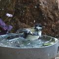 Photos: シジュウカラ♀水浴び(3)FK3A4167