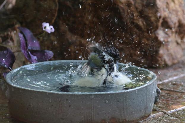 シジュウカラ♀水浴び(4)FK3A4200