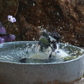 Photos: シジュウカラ♀水浴び(4)FK3A4200
