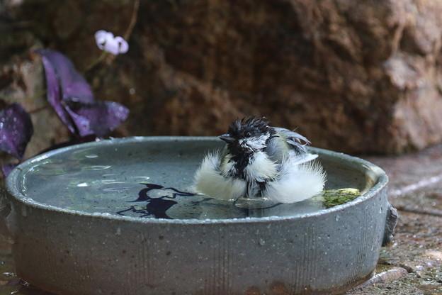 シジュウカラ♀水浴び(5)FK3A4181