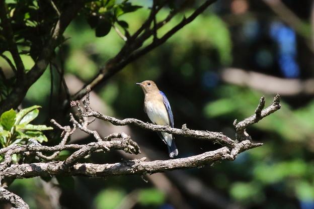 オオルリ♂若鳥(1)FK3A6502