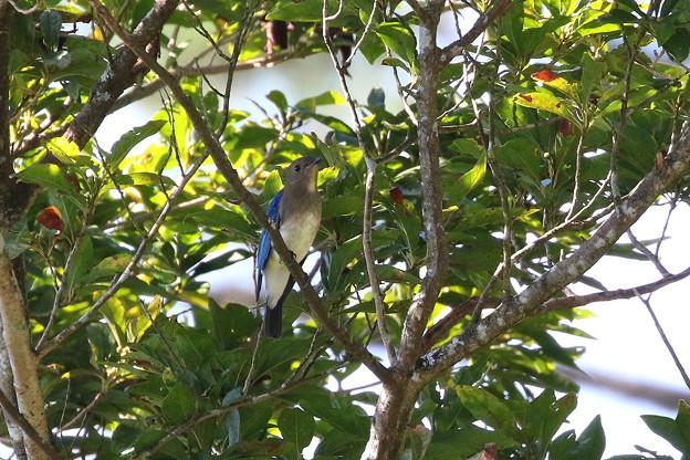 オオルリ♂若鳥(2)FK3A6151