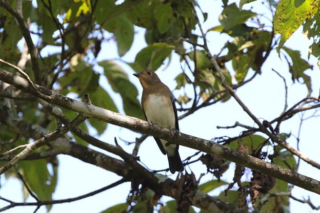 オオルリ♂若鳥(4)FK3A6331