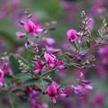 萩の花(1)FK3A7061