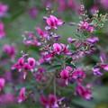 萩の花(2)FK3A7070