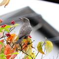 お庭のイソヒヨドリ♀(2)FK3A7101