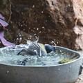 シジュウカラ♂水浴び(4)FK3A5529