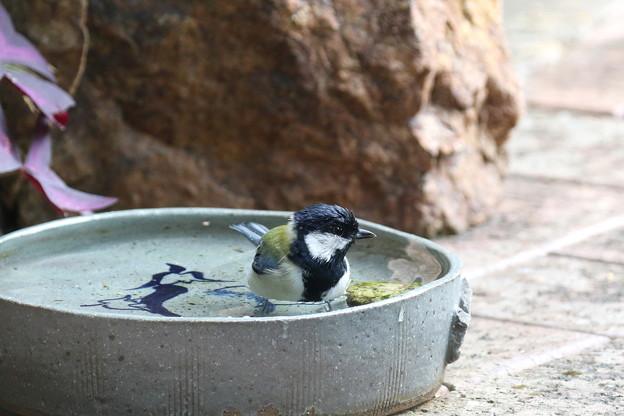 シジュウカラ♂水浴び(5)FK3A5516