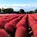 コキア畑の紅葉(1)IMG_1263 by ふうさん
