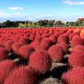 コキア畑の紅葉(2)IMG_1473