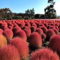 コキア畑の紅葉(3)IMG_1480