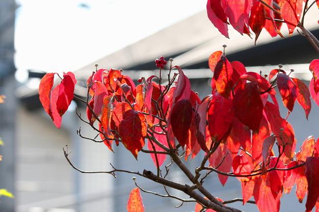 花水木の紅葉(1)FK3A7530
