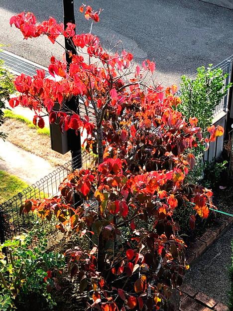 花水木の紅葉(2)IMG_1491