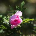十六夜薔薇(1)FK3A6874
