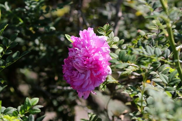 十六夜薔薇(2)FK3A6880