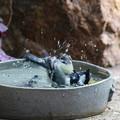 シジュウカラ水浴び(3)FK3A5554
