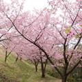 河津桜-1