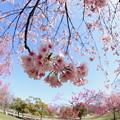 Photos: 早咲きの桜たち