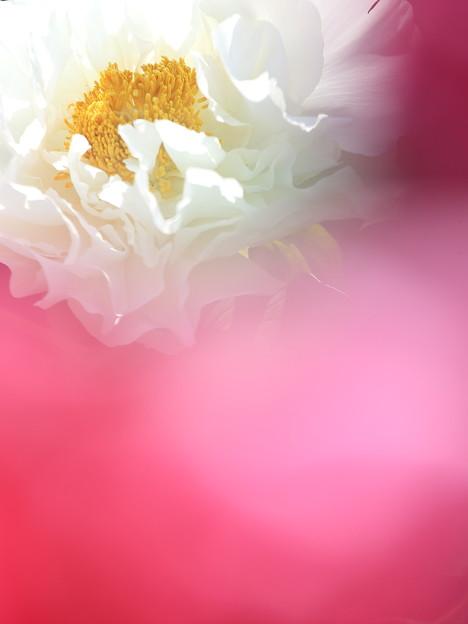 Photos: 白い牡丹