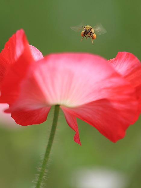 Photos: ポピーとミツバチ