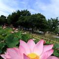 ハスの花と鱗雲
