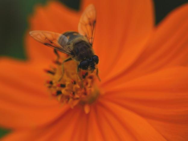 キバナとハチ