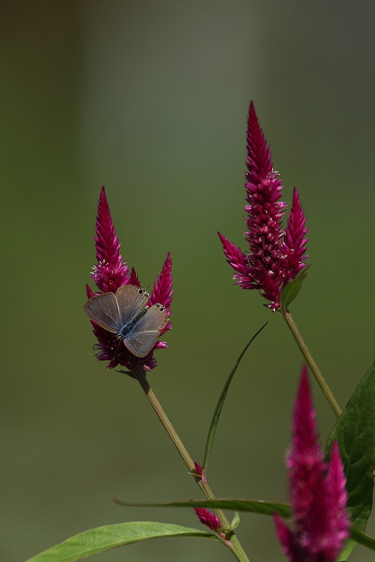 ケイトウの花とウラナミシジミ