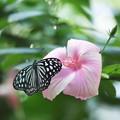 リュウキュウアサギマダラとピンクの花