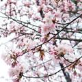 Photos: 今年も咲きました