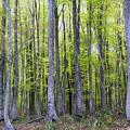 早春ブナ林~縮小サイズ
