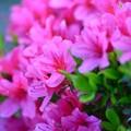 ツツジ~ピンク