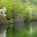 須川湖~コブシ