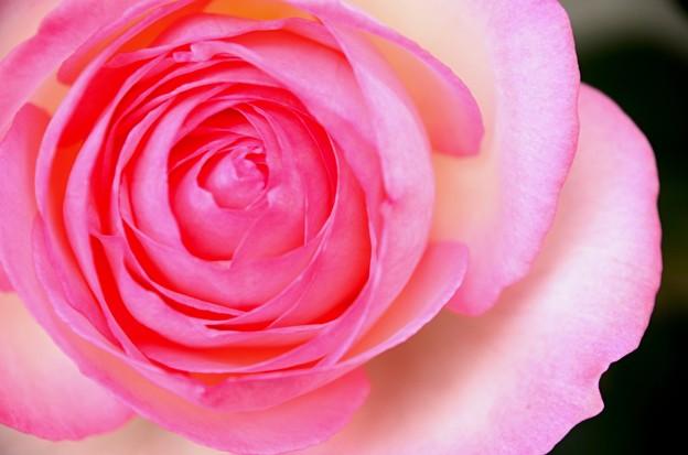 たまにはバラを
