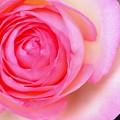 Photos: たまにはバラを