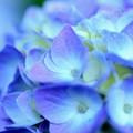 紫陽花~青