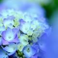 紫陽花~咲き始め