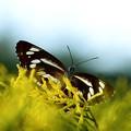 一枚しか撮れなかったミスジ蝶