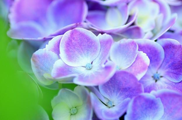 紫陽花~薄紫