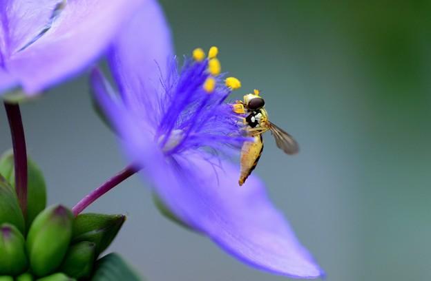 ハナアブ~紫露草