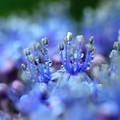 雨上がり~青しべ