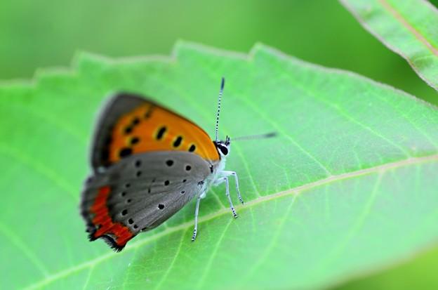 ベニシジミ蝶